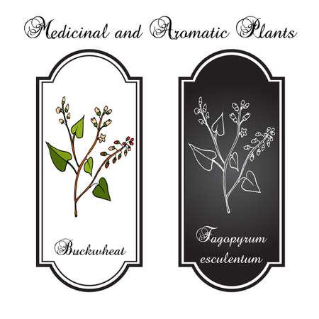 Buckwheat plant. Vector illustration