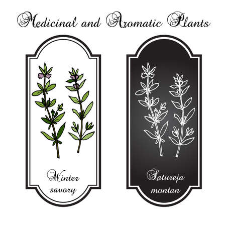 aromatic: Aromatic herbs collection - winter savory. Vector illustration