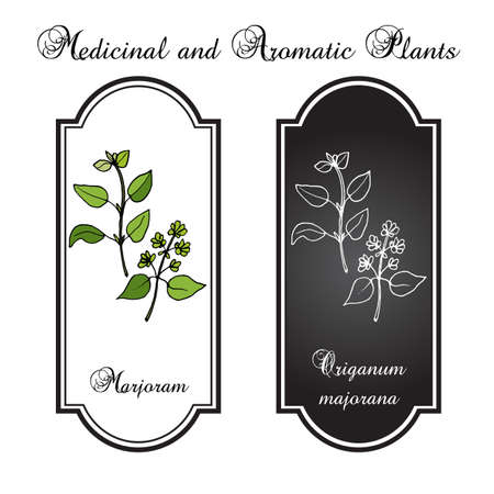 marjoram: Aromatic herbs collection - marjoram. Vector illustration