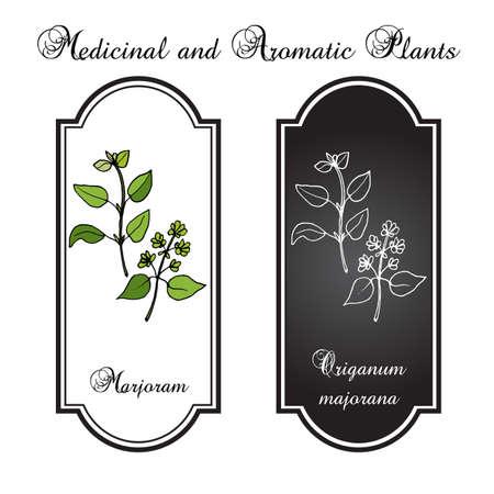 aromatic: Aromatic herbs collection - marjoram. Vector illustration