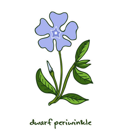 Dwarf periwinkle, or Vinca minor, verctor illustration Illustration