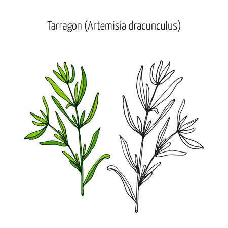 Dragoncello, aromatico cucina alle erbe. illustrazione di vettore