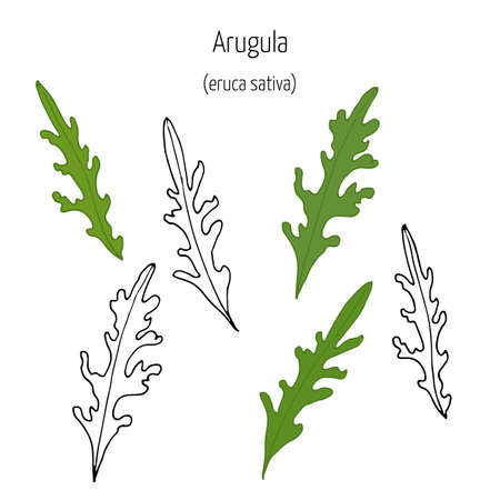 potherb: Hand drawn leaves of arugula at white background. Vector illustration