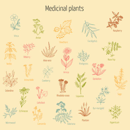 liquorice: Vintage collection of hand drawn medicinal herbs and plants. Vector illustration.