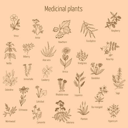 liquorice: Vintage collection of hand drawn medical herbs and plants. Vector illustration. Illustration