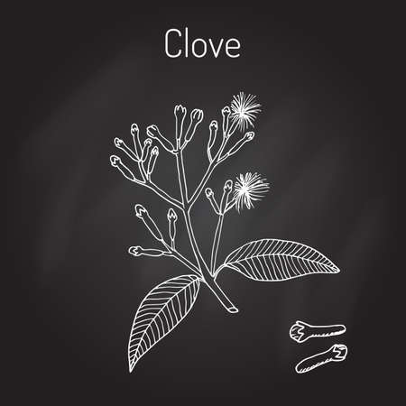 Clove, natural spice. Vector illustration