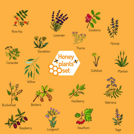 anise: Plants - nectar sources for honey bees. Vector set Illustration