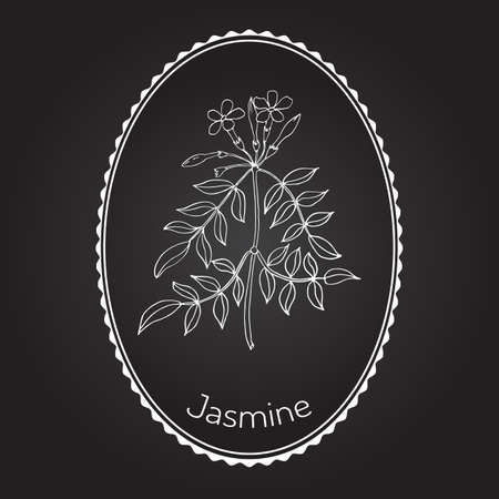 treatment plant: Jasmin branch with flowers. Vector illustration