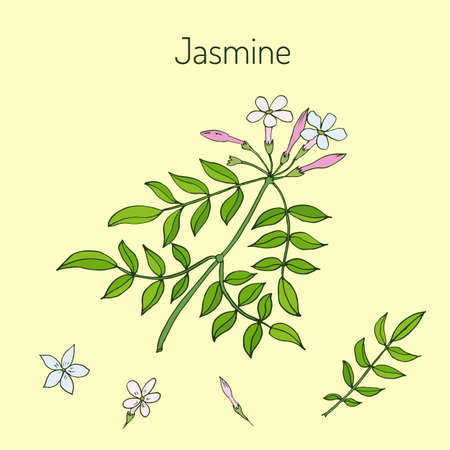 homeopathic: Jasmin branch with flowers. Vector illustration