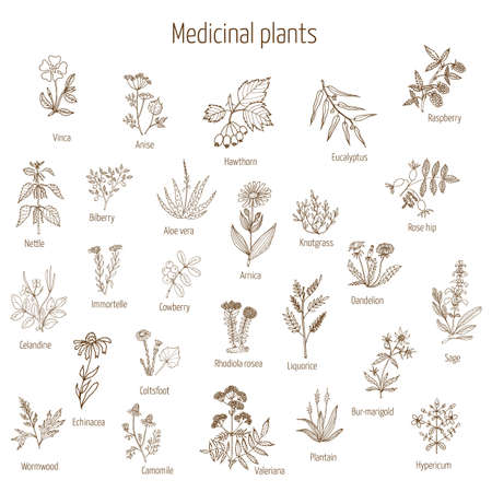 medical drawing: Vintage collection of hand drawn medical herbs and plants. Vector illustration. Illustration
