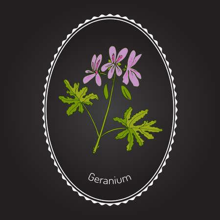 natural beauty: Geranium or Pelargonium, medicinal and aromatic plant. Vector illustration Illustration