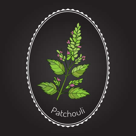 aromatic: Patchouli (Pogostemon cablin), also patchouly or pachouli - aromatic and medicinal plant, vector illustration