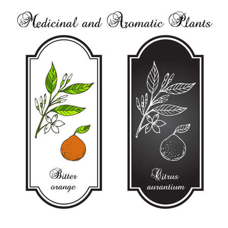bitter: Bitter orange, Seville orange, sour orange, bigarade orange, or marmalade orange, twig with flowers. Vector illustration Illustration