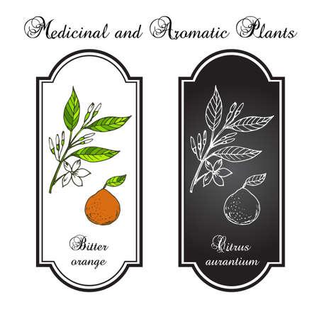 bitter orange: Bitter orange, Seville orange, sour orange, bigarade orange, or marmalade orange, twig with flowers. Vector illustration Illustration