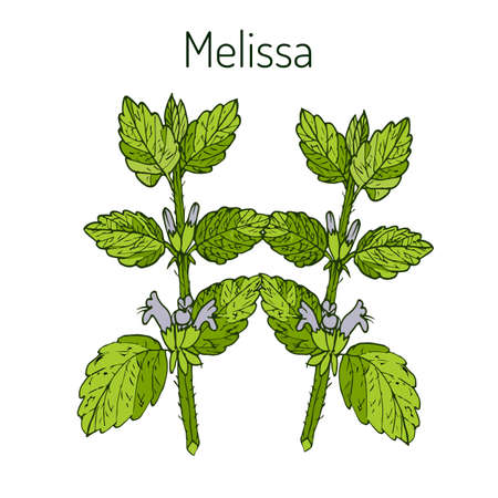 lemon grass: Melissa, known as lemon balm, common balm, or balm mint - aromatic kitchen and medicinal herb. Vector illustration Illustration