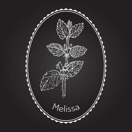 balm: Melissa, known as lemon balm, common balm, or balm mint - aromatic kitchen and medicinal herb. Vector illustration Illustration