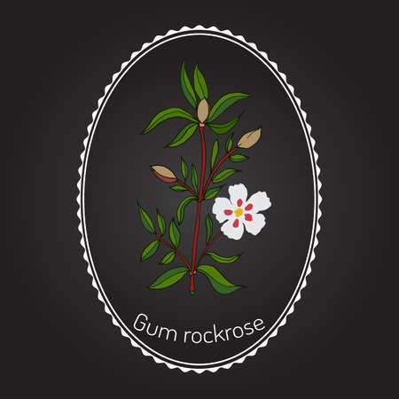 Gum rockrose, or laudanum, labdanum, common gum cistus Illustration