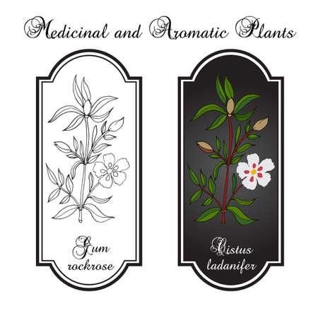 gum: Gum rockrose, or laudanum, labdanum, common gum cistus Illustration