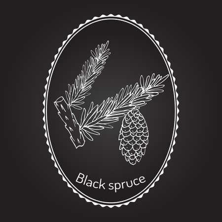spruce: Picea mariana (black spruce) branches. Vector illustration Illustration