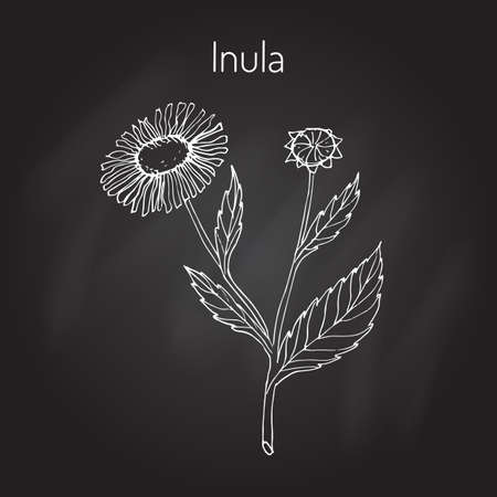 herbal medicine: Herbal medicine, inula. Vector illustration