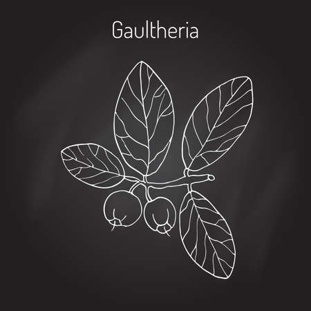 perfumery: Eastern teaberry (or checkerberry, or boxberry, or American wintergreen) - gaultheria procumbens - aromatic plant, vector illustration