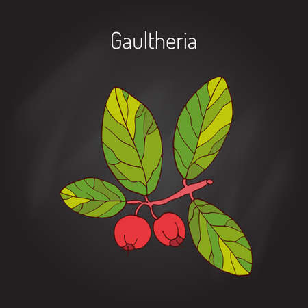 Eastern teaberry (or checkerberry, or boxberry, or American wintergreen) - gaultheria procumbens - aromatic plant, vector illustration