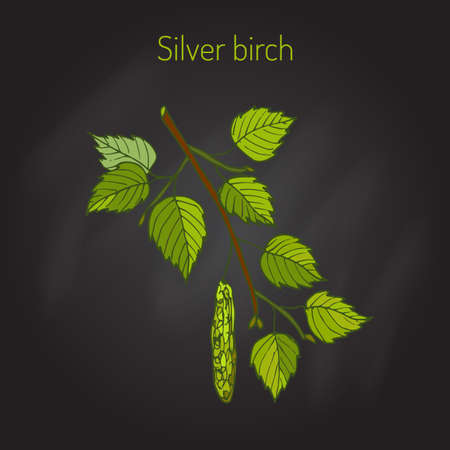 plant tree: Silver birch branch with green leaves. Vector illustration
