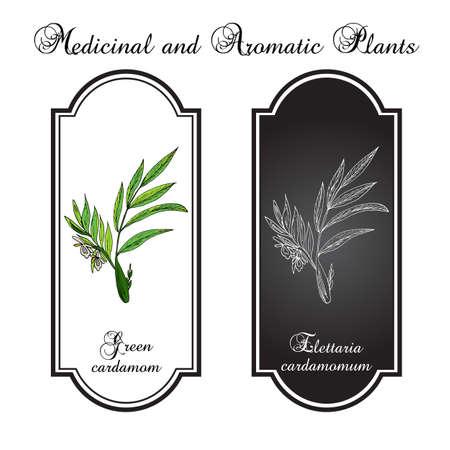 aromatic: Aromatic plant green or true cardamom (elettaria cardamomum). Vector illustration