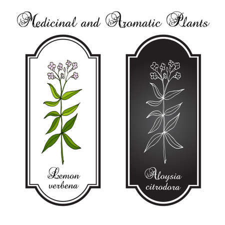 aromatic: Lemon verbena, or lemon beebrush (aloysia citrodora) - aromatic and medicinal plant. Vector illustration Illustration