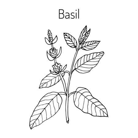 thai basil: Basil, Thai basil, or sweet basil, culinary and aromatic herb. Vector illustration Illustration