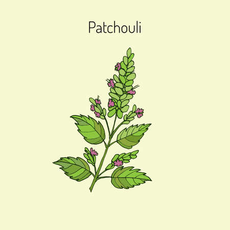 thai herb: Patchouli (Pogostemon cablin), also patchouly or pachouli - aromatic and medicinal plant, vector illustration