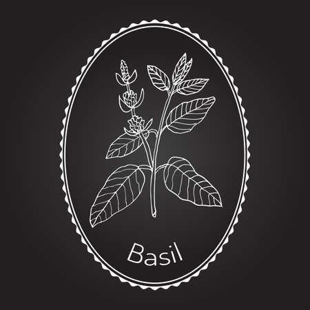 culinary: Basil, Thai basil, or sweet basil, culinary and aromatic herb. Vector illustration Illustration