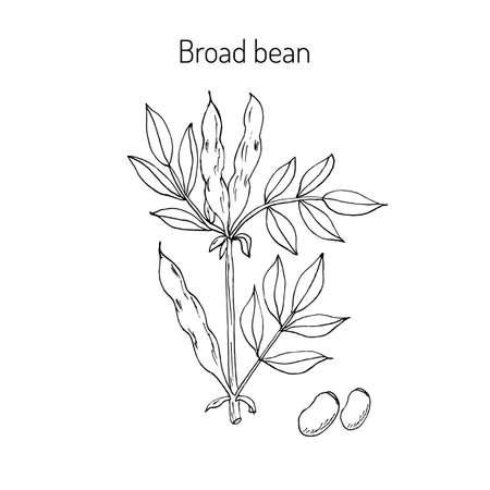 Fèves ou fèves tiré par la main. Vector illustration