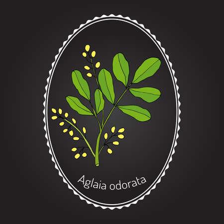 asian flavors: Aglaia odorata, medicinal plant, vector illustration