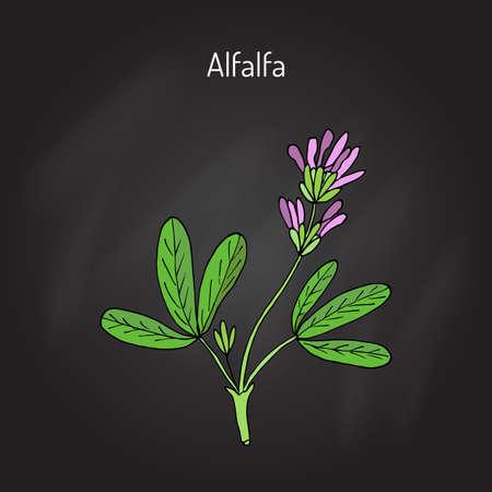 Alfalfa (Medicago sativa). Vector illustration
