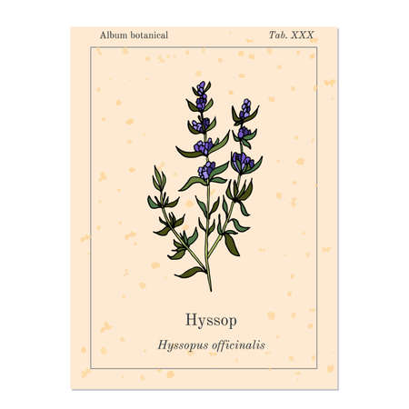 hyssop: Medicinal and kitchen herb hyssop, old book page. Vector illustration