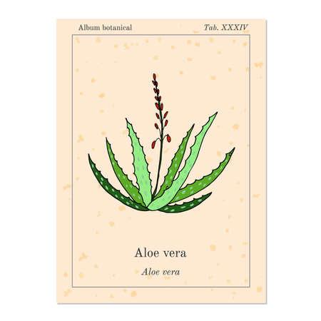 aloe vera plant: Medicinal plant aloe vera, old book page. Vector illustration