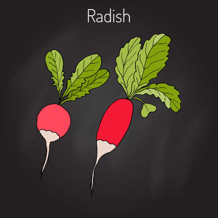 Radishes with leaves, vegetable collection, vector illustration Illustration