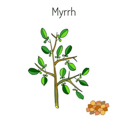 balsam: Myrrh, or African myrrh, or herabol myrrh,[ or Somali myrrhor, or Common myrrh - aromatic plant. Vector illustration Illustration