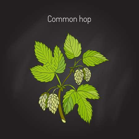 common hop: Common hop branch. Hand drawn vector illustration