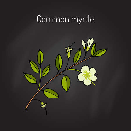 true myrtle: Myrtle or Myrtus communis, vector illustration