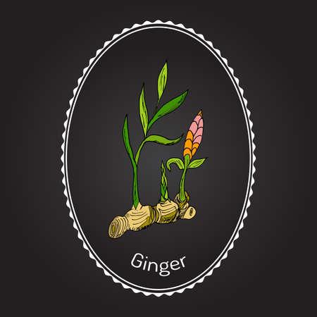 ginger: Hand drawn ginger plant. Vector illustration