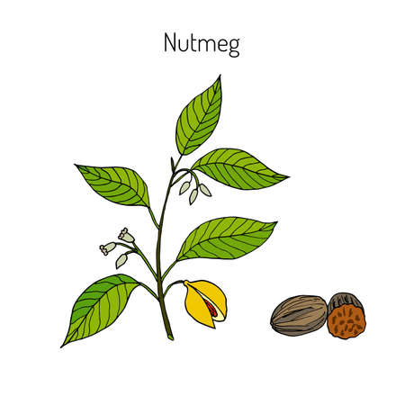 Kitchen spices. Nutmeg. Hand drawn vector illustration.