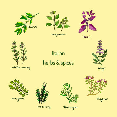 tarragon: Italian herbs and spices - winter savory, laurel, marjoram, oregano, rosemary, sage, thyme, basil, tarragon. Vector illustration Illustration