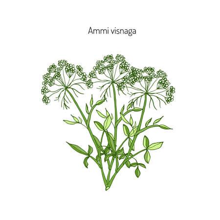 Ammi visnaga, or bisnaga, toothpickweed, khella. Medicinal plant, vector illustration Stock Vector - 69555045