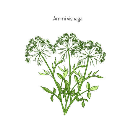 Ammi visnaga, or bisnaga, toothpickweed, khella. Medicinal plant, vector illustration Illustration