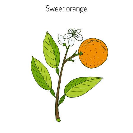 marmalade: Orange, or sweet orange, twig with flowers. Vector illustration