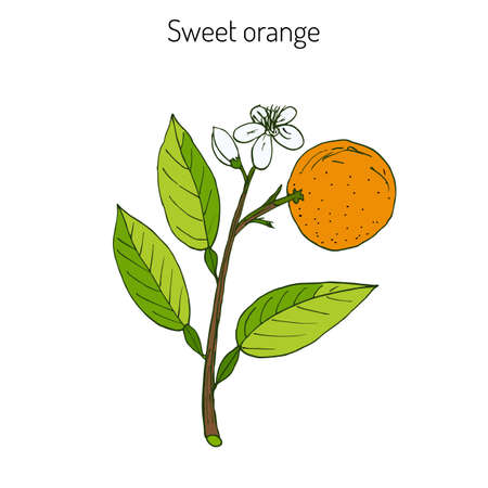 Orange, or sweet orange, twig with flowers. Vector illustration