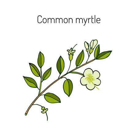 Myrtle or Myrtus communis, vector illustration