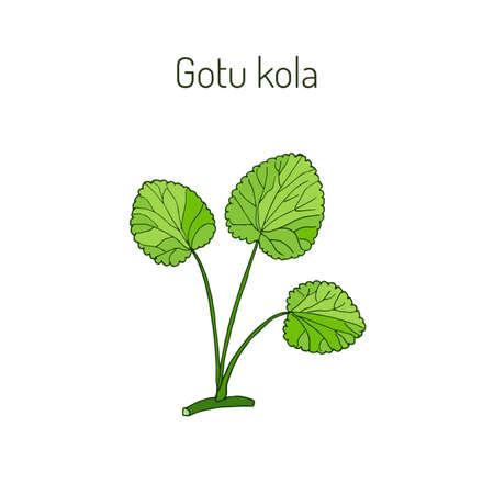 Centella asiática - planta medicinal. ilustración vectorial Foto de archivo - 69555048